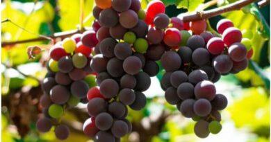 I Feira da Uva e do Vinho do DF começa hoje e tem o apoio da ABS-DF